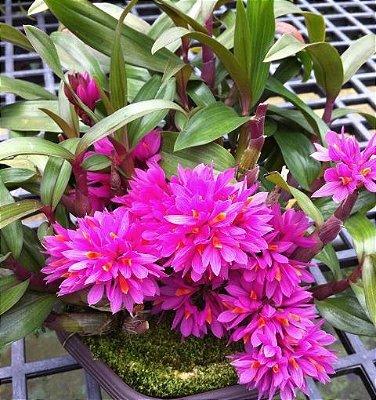 Dendrobium Hibiki - AD