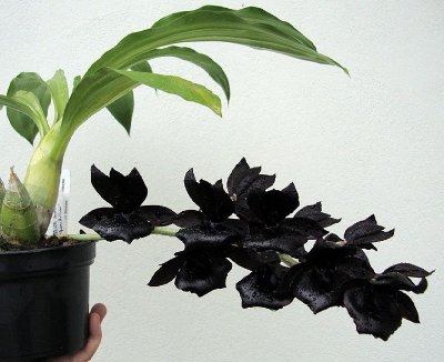 Monnierara Millennium Magic 'Witchcraft' NEGRA - Muda T3