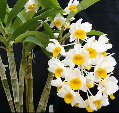 Dendrobium Mousmee x Dendrobium Densiflorum - Pré Adulta