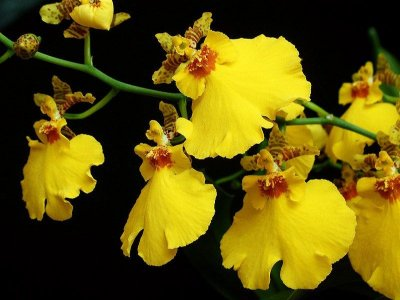 Oncidium Aloha Iwanaga - Adulta