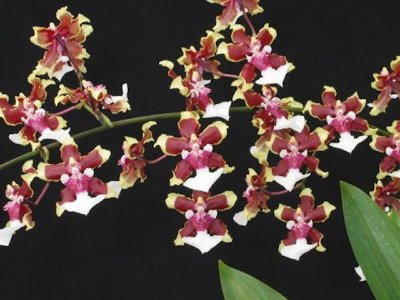"Oncidium Sharry Baby ""Tricolor"" (chocolate) - Pré Adulta"