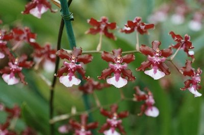 "Oncidium Sharry Baby ""Sweet Fragrance"" - Muda T3"