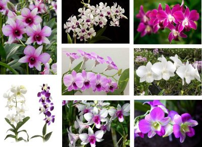 8 Orquídeas Dendrobium Phalaenopsis SORTIDOS (Denphal)  - Adulta