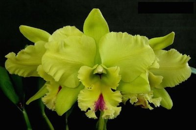"BLC Magic Meadow ""Napoleon"" - Adulta"