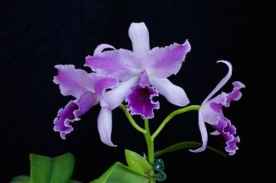 "LC Mary Elizabeth Bohn ""Royal Flare"" AM/AOS - Muda T4"