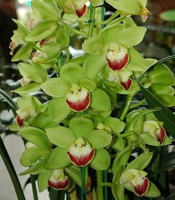 Cymbidium Chopin in Shirabe - T3