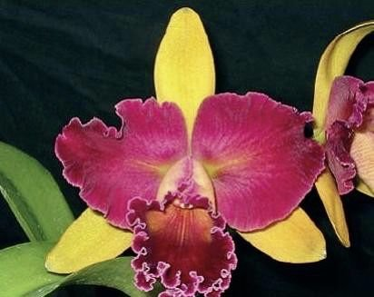 Blc Nobiles Wildfire - T3