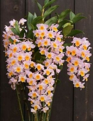 Dendrobium Bronckartii - Muda T2