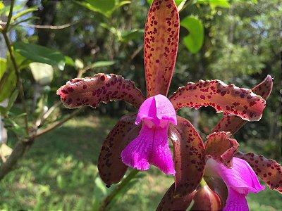 Cattleya Leopoldii (espécie) - Muda T2