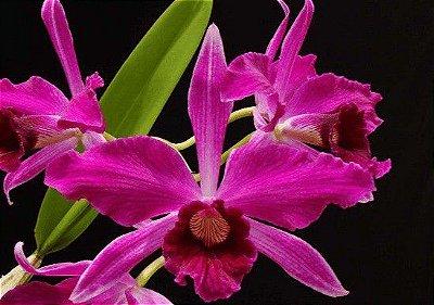 Laélia Purpurata Sanguínea - T4