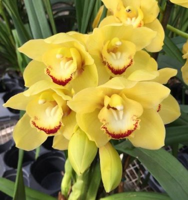 "Cymbidium Lovely Moon ""Crescent""- Muda T3"