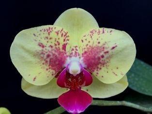 Phalaenopsis Exótica - Amarela Pintada de Rosa - Adulta