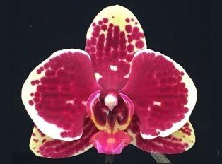 Phalaenopsis Exótica - Amarela Manchada de Vermelho - Adulta