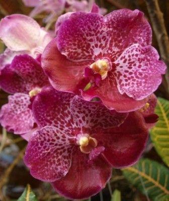 Vanda Dr Anek x  Kulwadee Fragrance 'Black Spot' - Muda T3