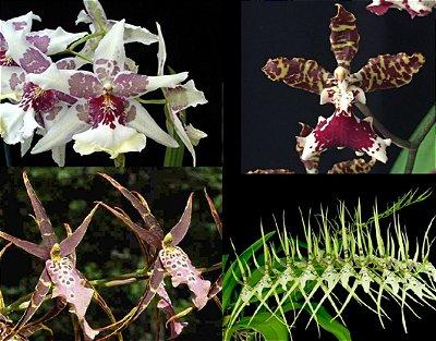Kit de 4 Orquídeas Exóticas - Adultas