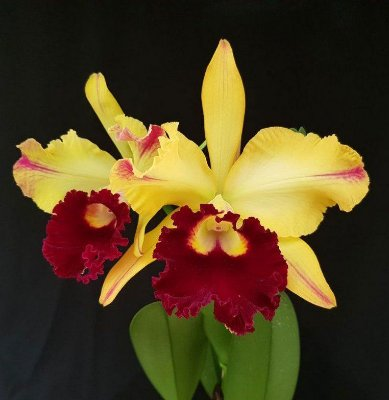 Blc Tajima's Satisfaction - Adulta