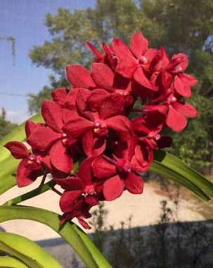 Vascostylis Roll On Red 'Dang Tubtim' - T3 vanda