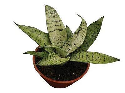 Sansevieria Hahni Variado Pote 11cm