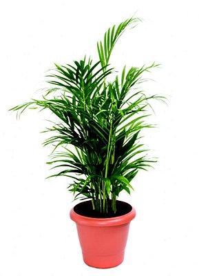 Palmeira Areca Bambu Pote 24cm