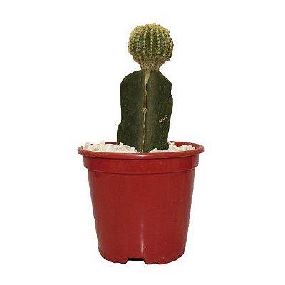 Vaso Planta natural Cactus Enxertado Pote 7cm