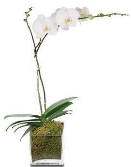 Orquidea Phalaenopis Vaso de Vidro