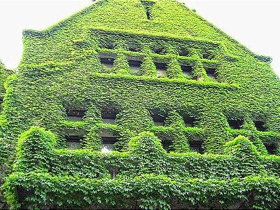 Muda de Hera Japonesa Falsa Vinha Trepadeira P/ Paredes verdes
