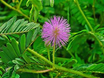 20 Sementes Linda Dormideira Planta Sensitiva - Mimosa Pudica
