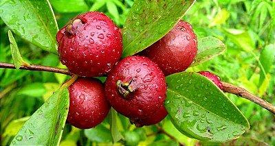 Muda do Delicioso Araçá Vermelho Produzindo com 80 cm + Brinde