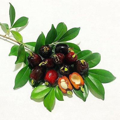 Deliciosa Cereja do Rio grande Muda com 60 cm -  Eugenia involucrata + BRINDE