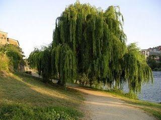 Linda ornamental Chorão vime com 80 cm - Salix x pendulina + BRINDE