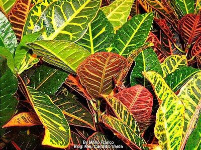 Cróton Linda Planta Ornamental Com 80 Cm