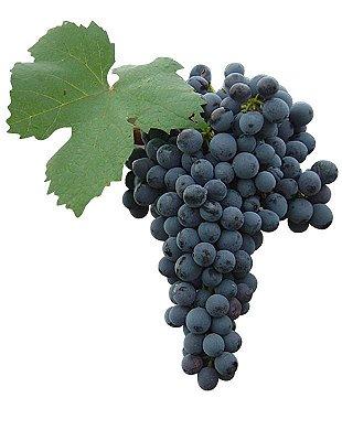 Uva Pinot Noir Ideal Para Vinho Fino Muda Enxertada C/ 70 cm + Brinde