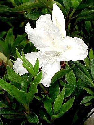 Muda De Azaléia Branca Florescendo 80 cm + Brinde