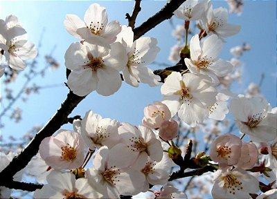 Muda De Cerejeira Japonesa Branca Sakura Com 80 Cm + Brinde