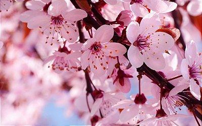Muda De Cerejeira Japonesa Rosa Sakura Com 80 Cm + Brinde
