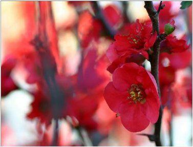 Linda Cerejeira Japonesa Vermelha Sakura Muda Com 80 Cm + Brinde