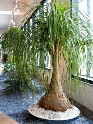 Pata De Elefante Ideal Para Vasos E Interiores Com 50 Cm