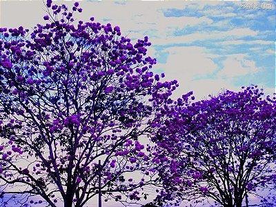 Lindo Ipê Roxo Muda Ornamental com 80 cm + Brinde