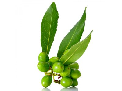 Louro Tempero e Medicinal Lauros nobilis L. Muda com 60 cm + Brinde