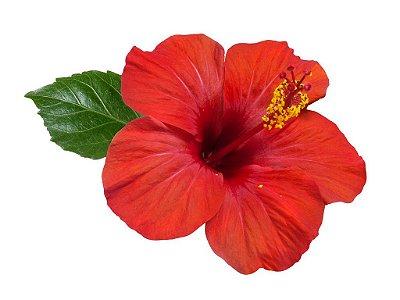 Hibisco Muda Florescendo C/ 40 Cm - Hibiscus Rosa Sinensis