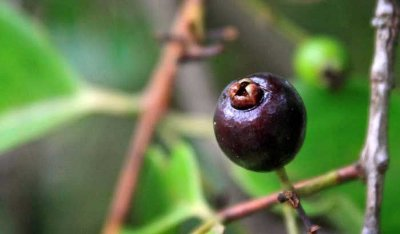 Deliciosa e Rara Frutífera, Guamirim Cereja Muda C/ 70 cm