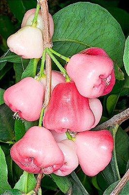 Delicioso Jambo Rosa Muda C/ 70 cm + Brinde