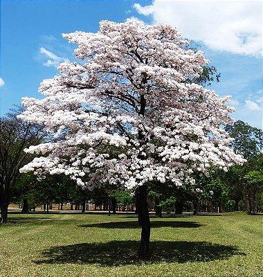 Ipê Branco Muda com 80 cm - Tabebuia roseo-alba