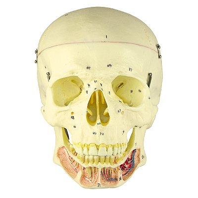 Crânio Clássico com Mandíbula Aberta, em 2 Partes TGD-0102-B