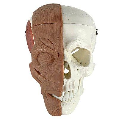 Crânio Com Músculos Faciais TGD-0102-MF