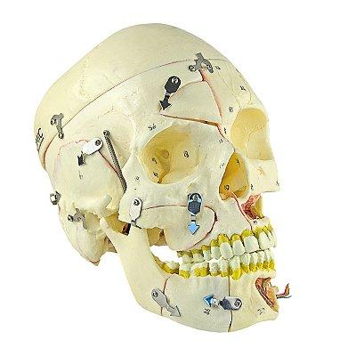 Crânio com Vasos Sanguíneos e Nervos, Numerado, em 10 Partes TGD-0102-P