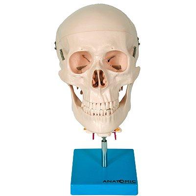 Crânio com Coluna Cervical TGD-0103-C