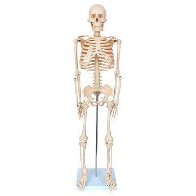 Esqueleto de 85 cm TGD-0112