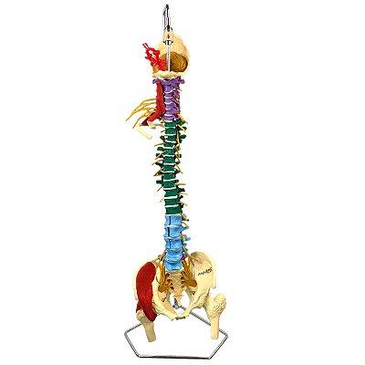 Coluna Vertebral Multifuncional, Flexível em Tamanho Natural TGD-0148-M