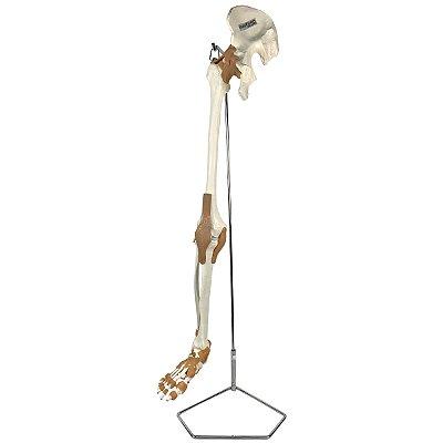 Esqueleto do Membro Inferior com Articulações TGD-0158-A